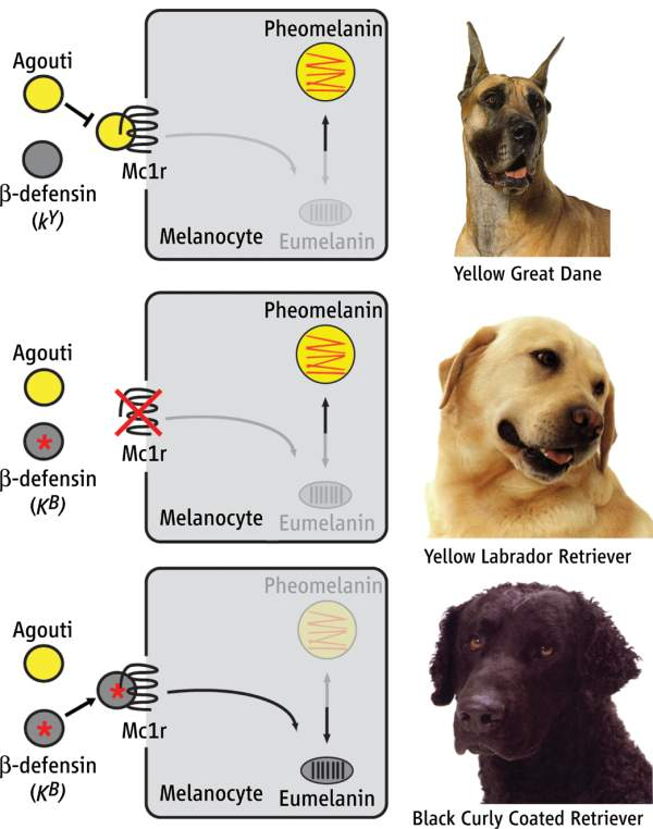 interaction between genes and behavior Epistatic interaction between comt and dat1 genes on eating  and their associations with reward and cognition suggest a role in the modulation of eating behavior.